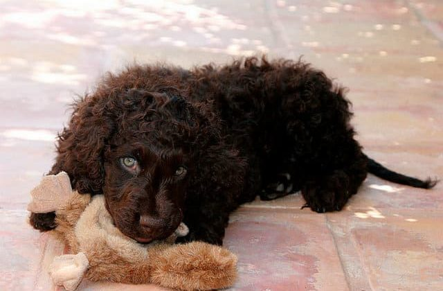 Ирландский водяной спаниель – щенок