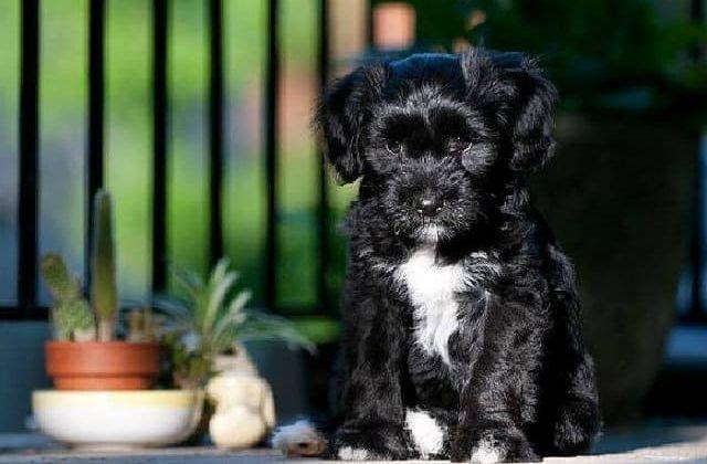 Тибетский терьер – щенок черного окраса