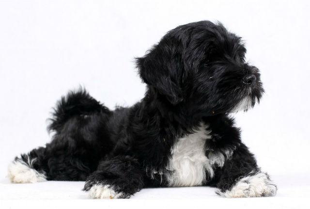 Тибетский терьер – выбор щенка