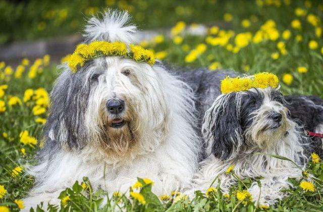 Тибетский терьер с щенком