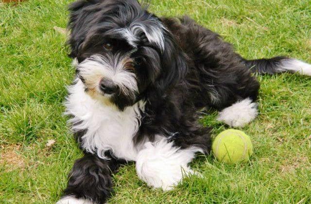 Тибетский терьер – щенок с мячиком