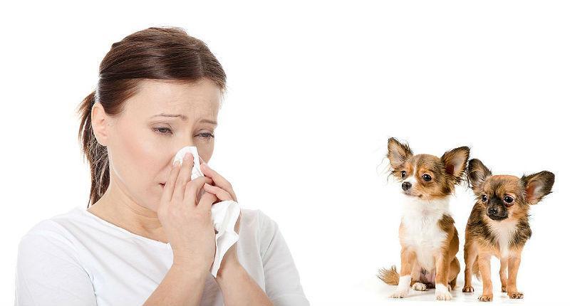 Аллергия на чихуахуа – главное фото