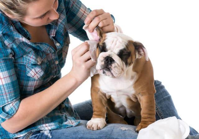 Аллергия в ушах у французского бульдога – профилактика