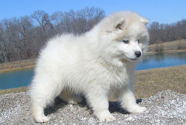 Американский эскимосский шпиц – выбор щенка