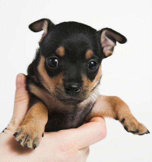 Английский той-терьер – выбор щенка