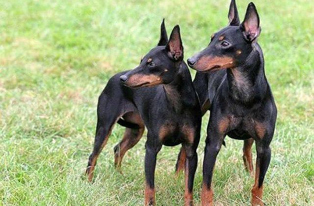 Собаки породы английский той-терьер