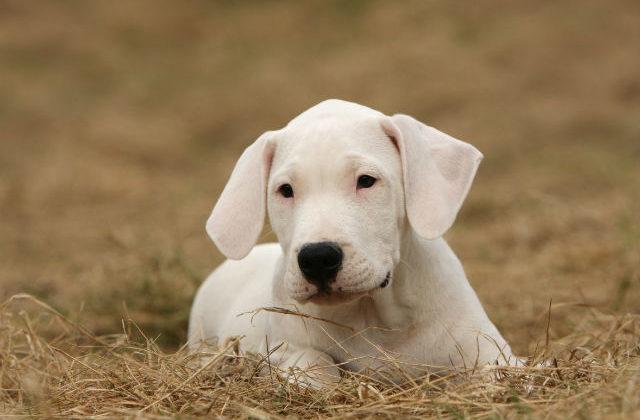 Аргентинский дог - щенок на сене