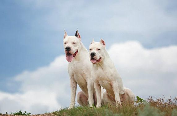 Собаки породы аргентинский дог