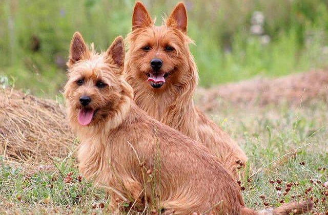 Собаки породы австралийский терьер