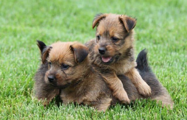 Австралийский терьер - выбор щенка