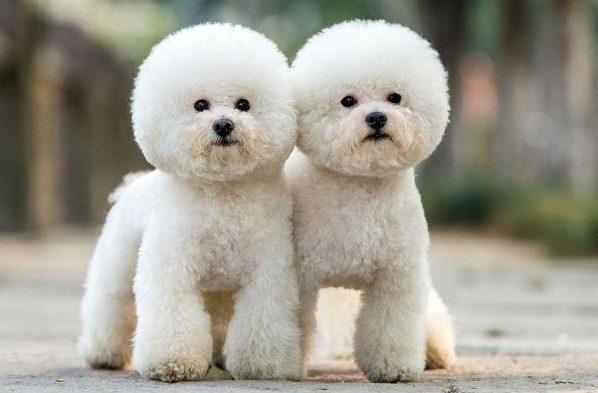 Пушистая собака - бишон-фризе