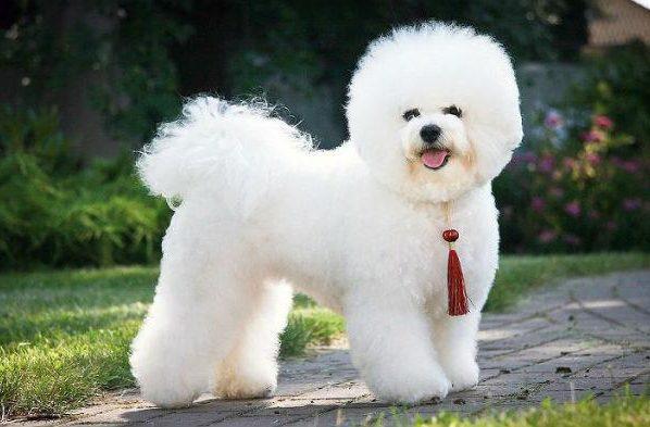 Самые пушистые собаки в мире - бишон-фризе