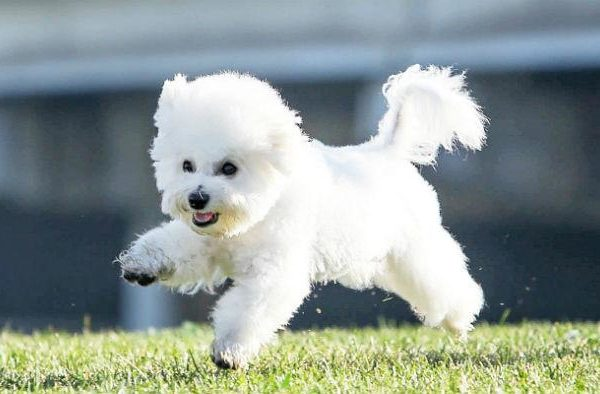 Бишон фризе - пушистая собака