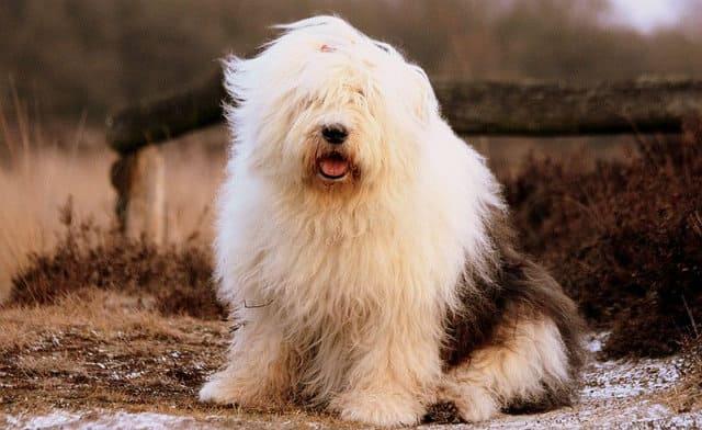 Большая пушистая собака - староанглийская овчарка бобтейл