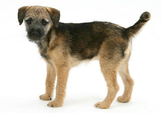 Бордер-терьер – выбор щенка