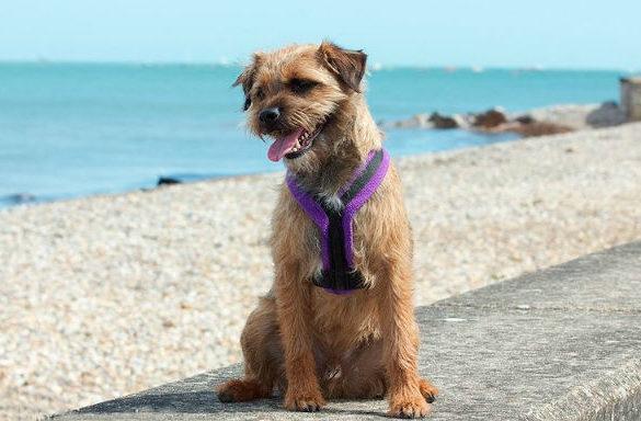 Бордер-терьер – прогулка у моря