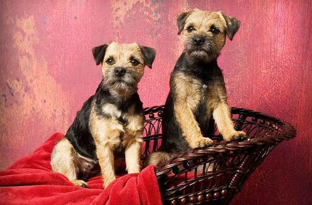 Бордер-терьер – щенки