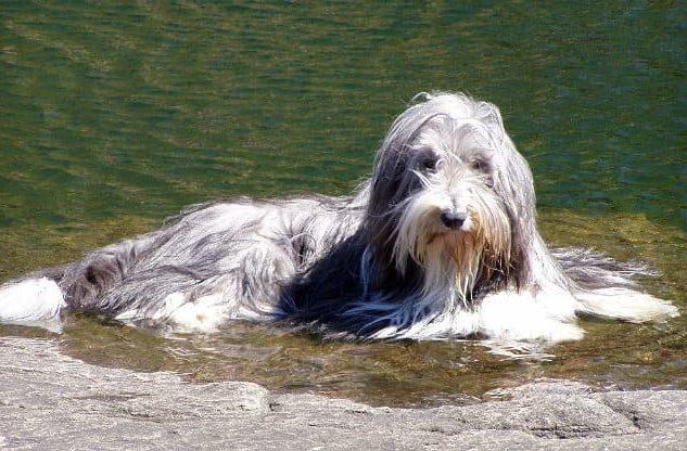 Бородатый колли лежит в воде
