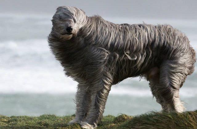 Бородатый колли на ветру