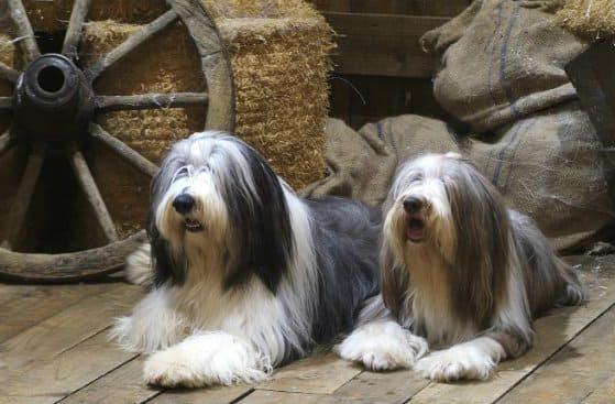 Собаки породы бородатый колли