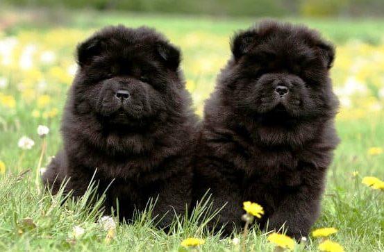 Черные щенки чау-чау