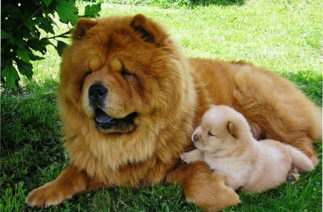 Чау-чау с щенком