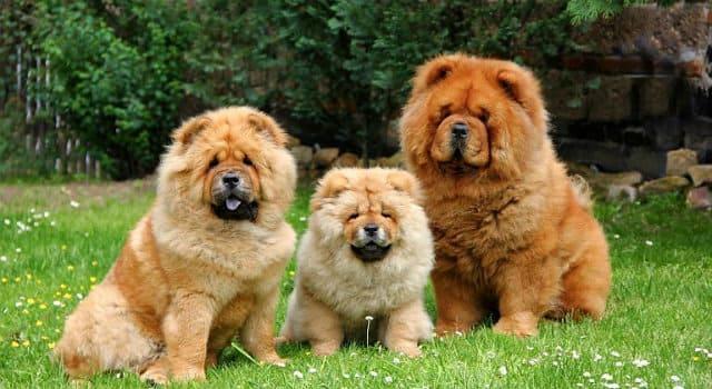 Собаки породы чау-чау