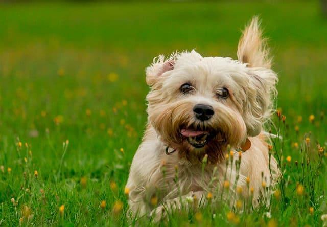 Денди-динмонт-терьер бежит по лужайке