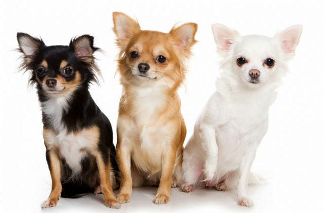Собачки породы длинношерстный чихуахуа