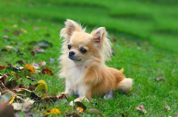 Длинношерстный чихуахуа - щенок