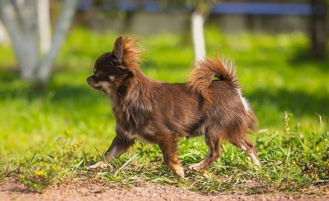 Длинношерстный чихуахуа коричневого окраса