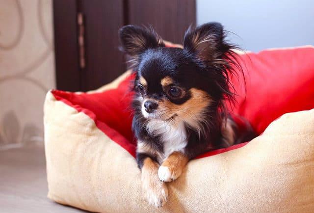 Длинношерстный чихуахуа - содержание щенка