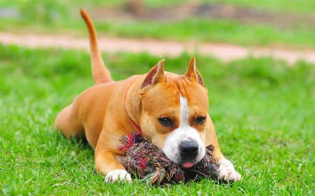 Дрессировка щенка американского стаффордширского терьера