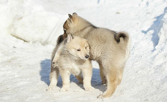 Дрессировка щенков лайки