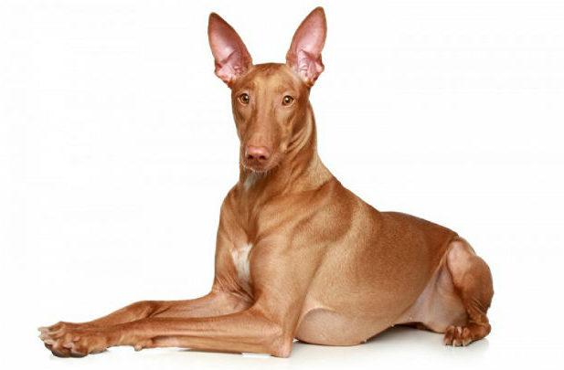 Самые дорогие породы в России - фараонова собака
