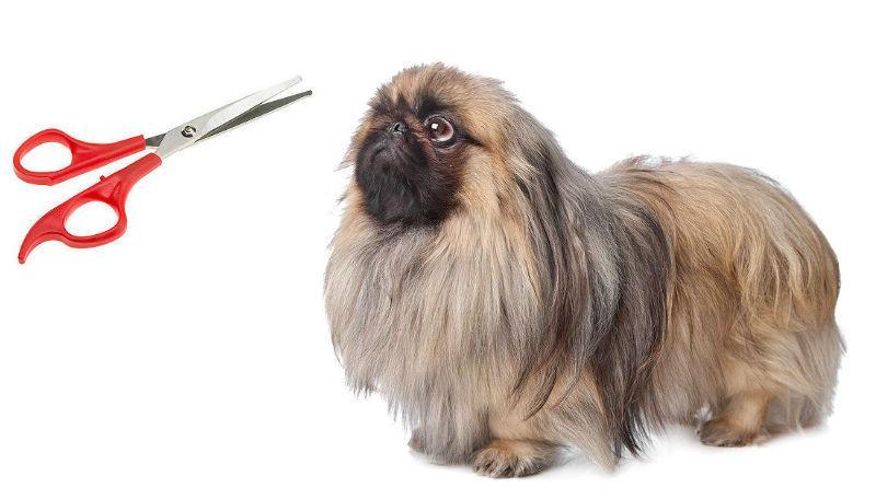 Груминг пекинеса – стрижка собаки