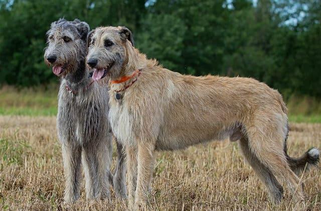 10 крупнейших пород - собака ирландский волкодав