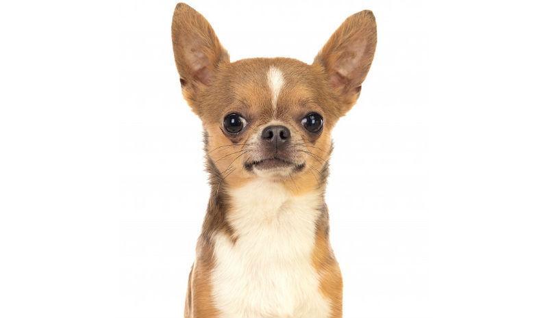 Когда у чихуахуа встают уши – главное фото