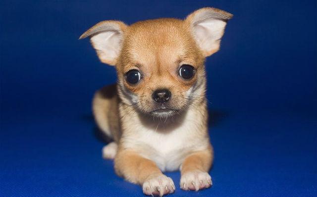 Уши маленького чихуахуа