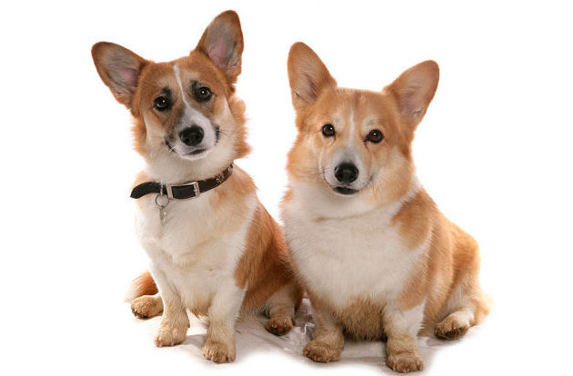 Самые дорогие породы собак в России - корги