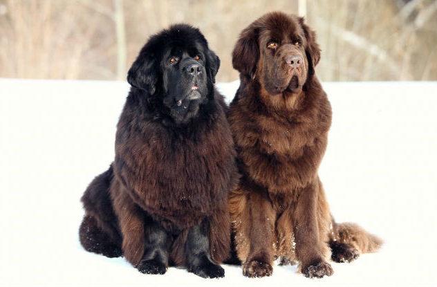 Крупнейшие породы собак - ньюфаундленд