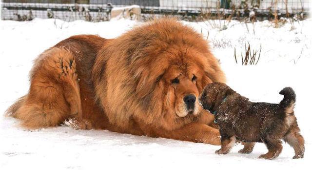 10 крупнейших пород собак - тибетский мастиф