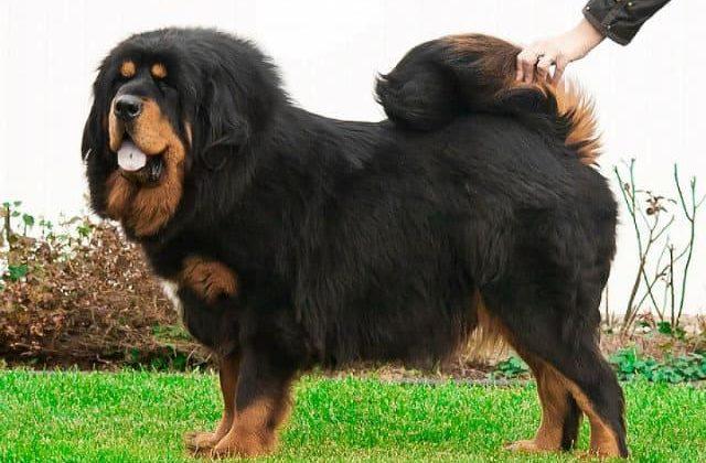 Крупнейшая порода собак - тибетский мастиф