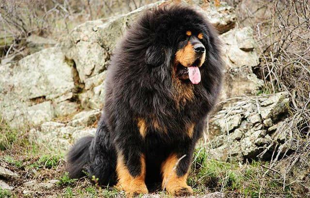 10 крупнейших пород - тибетский мастиф