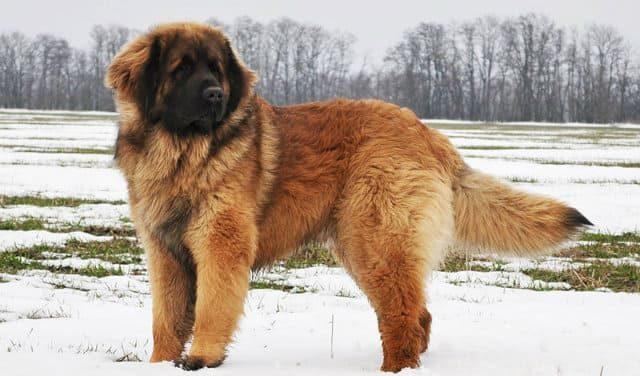 10 крупнейших пород - собака леонбергер