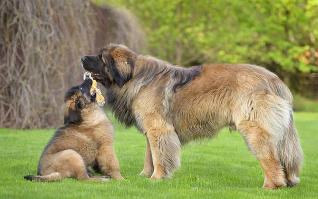 Крупнейшие породы собак - леонбергер