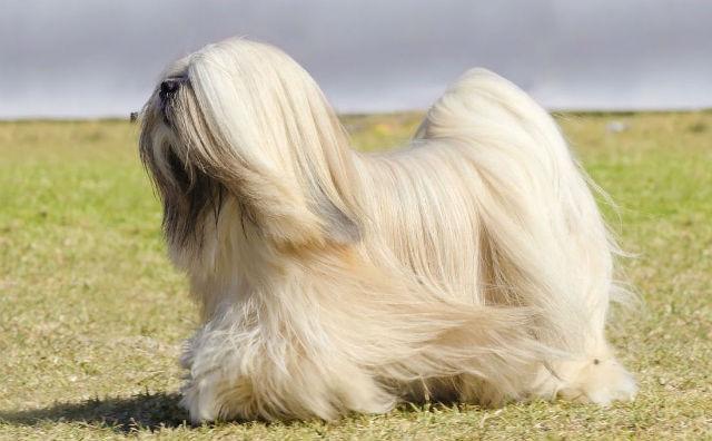 Самые пушистые собаки в мире - лхаса апсо