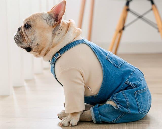 Одежда для французского бульдога - костюм для мальчика