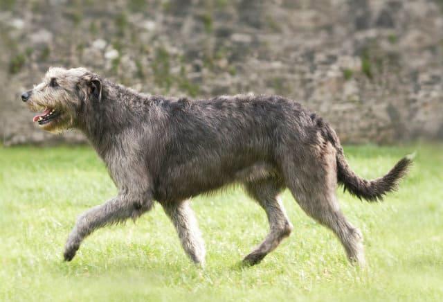 Самые дорогие собаки в мире - Ирландский волкодав