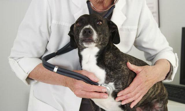 Питбуль - осмотр у ветеринара
